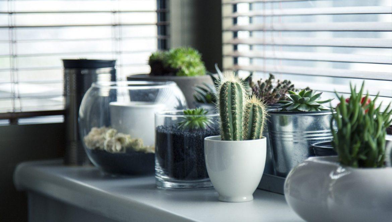 Zimmerpflanzen | verschiedene Kakteen und Echeverien auf einer Fensterbank