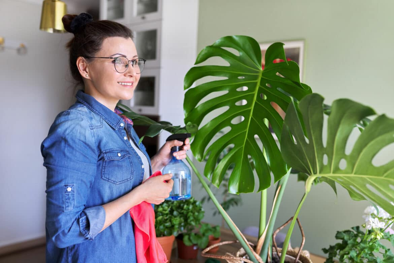 Monstera Pflege: So gedeiht die beliebte Zimmerpflanze